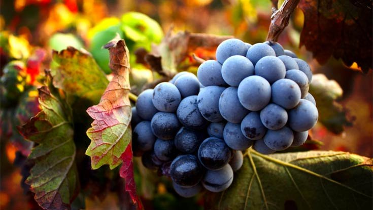Sangiovese-Grapes-for-Brunello.jpg